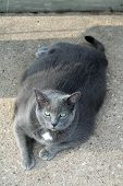 Obese Grey Cat