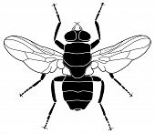 foto of blowfly  - Vector illustration of a common house fly - JPG