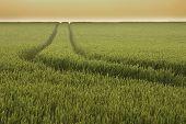Track In Wheat Field