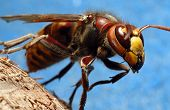 stock photo of mandible  - Laying hornet - JPG