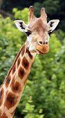 Closeup of Giraffe's head in ZOO Prague - Czech Republic Europe