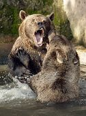 Brown Bear (Ursus arctos) in National Park Bavarian Forest - Germany Europe