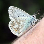 Rare butterfly Polyomnatus Icarus on skin