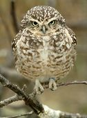 picture of nursery rhyme  - Owlet - JPG