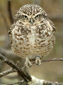 pic of nursery rhyme  - Owlet - JPG