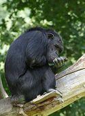 Meditating chimpanzee in ZOO Pilsen - Czech Republic Europe