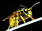 Close-up of a live Yellow Jacket Wasp