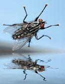 foto of blowfly  - Falling Fly - JPG