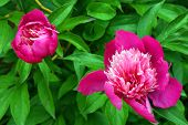 Paeonia officinalis - Peony - Properties and Uses: It is antispasmodic and tonic, and can be advantageously employed in chorea, epilepsy, spasms, and various nervous affections.