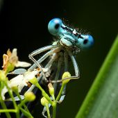Blue dragonfly on a flower - funny portrait