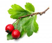 Crataegus oxyacantha -  Hawthorn. The total complex of plant constituents is considered valuable as