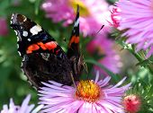 Red Admiral - Vanessa atalanta on a autumn flower  Aster Dumosus - extremely close up