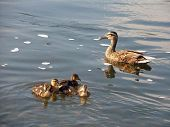 Young Ducklings  & Mom