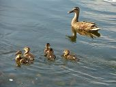 Young Ducklings  Mom