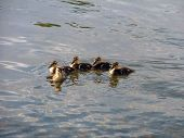 Young Ducklings
