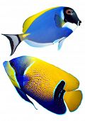 Tropical reef fish - Surgeonfish - (Zebrasoma) and Majestic Angelfish (Pomacanthus navarchus) - isol