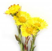 Coltsfoot (Tussilago farfara) the plant has been used historically to treat lung ailments such as as