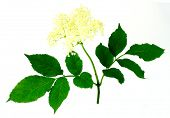 Sambucus nigra - Elder - The flowers and berries are used most often medicinally.