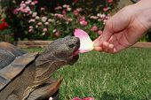 Tortoise Eats Rose