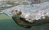Closeup shot of the European Otter (Lutra lutra).