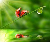 Love-making ladybugs couple on a dewy grass. Love metaphor.