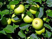 picture of apple orchard  - apple on branch - JPG
