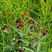 butterflies on herb