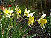 narcissuses illuminated sun