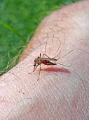 midge to drink blood from hand of the person