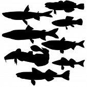 vector silhouettes of river fish on white background