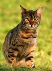 stock photo of tinkerbell  - a bengali special breed kitten sitting in a field with a thoughtful expression on its face - JPG