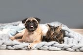 Cute Cat And Pug Dog With Blankets On Floor At Home. Cozy Winter poster
