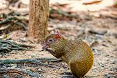 Rat Or Agouti Rodent Animal With Reddish Hair Sitting And Holding Food In Fore Paws In Rainforest Of poster