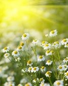 Rising sun above the beautiful chamomiles