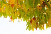 Autum tree with colorful leaves. Fall beautiful foliage. Autumnal design abstract background. Season poster