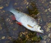 Chub caught on a hardbait lying in water