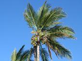 Dattel Palme an einem australischen Strand