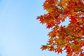 Red Acer Palmatum, Commonly Known As Palmate Maple, Japanese Maple Or Smooth Japanese-maple Leaves O poster