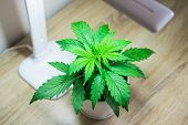Cannabis On On The Table. Growing Marijuana At Home. Cannabis Plant Growing. Vegetation Period. Indo poster