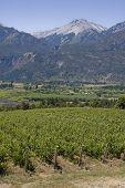 Vineyard In Bolson, Argentina