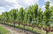 Gewurtztraminer White Wine Grapes on the Vine