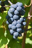 Pinot Noir Red Wine Grape on the Vine