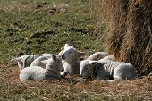 Spring lambs enjoying the sun