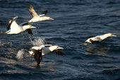 Cape Gannets Taking Off