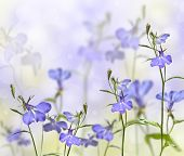 picture of lobelia  - garden flower lobelia with a blurred background - JPG