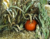 Pumpkin Almost Hidden In The Stocks And Hay