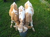 three calfs drinking the water
