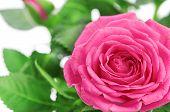 flower of pink roses on white