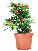 Potted Solanum Capsicastrum