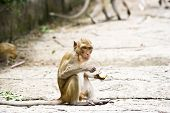 Monkeys Eat Fruit.
